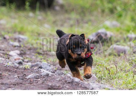 Rottweiler Puppy Running In The Grass Meadow