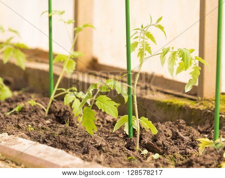 fragile gentle green tomato seedlings in a greenhouse in the spring and the green peg for plant support and brown soil