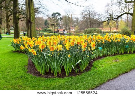 Lisse, Netherlands - April 4, 2016: Flower bed with yellow daffodil flowers blooming in spring garden Keukenhof, Lisse, Netherlands