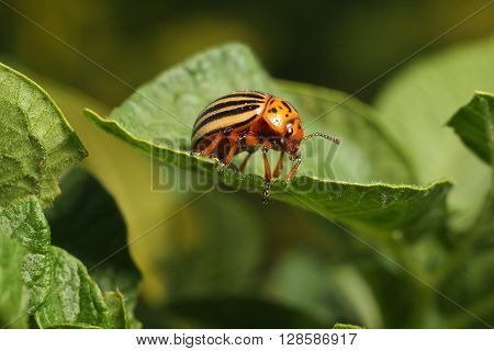 Colorado potato beetle eats a potato leaves