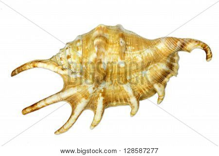 Sea snail with spikes isolated on white background
