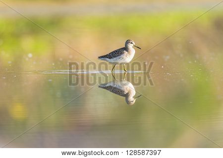 Green sandpiper reflecting in a pond in an oasis