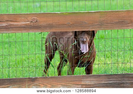 Healthy chocolate brown lab behind a wooden fence with green grass in background.