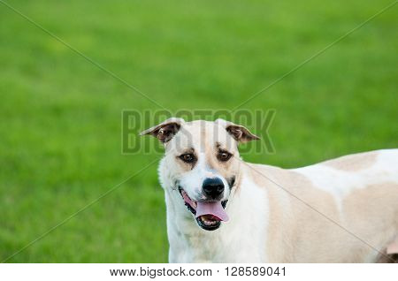 Large white and tan dog outdoors with floppy ears and tongue sticking out looking funny and silly in green grass.