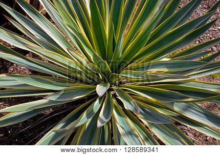 Close-up view of green and yellow yucca plant outdoors in garden.