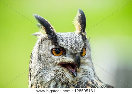 European Eagle-owl portrait, this is a very large Owl