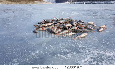 Winter fishing. Fish on ice. Freshly caught fish on ice. ice Fishing