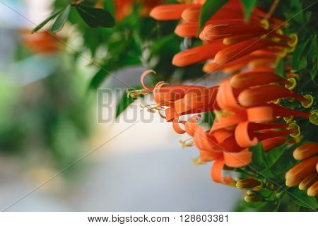 Orange trumpet flower Flame flower Fire-cracker vine