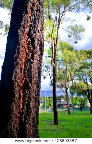 Dramatic light on a tree bark in parkland Australia