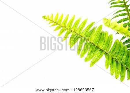 Sword Fern or Fishbone Fern on the white background