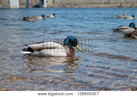 Wild duck species of Mallard in sunny day