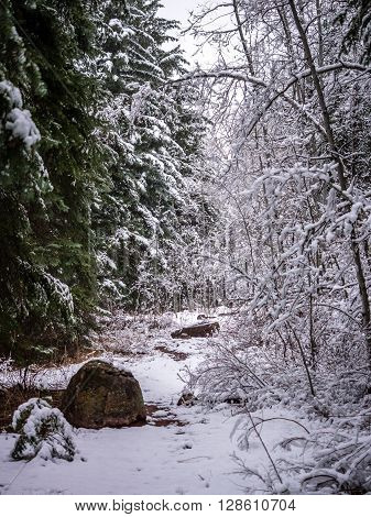 Evergreens & Deciduous Trees Flanking Snowy Path