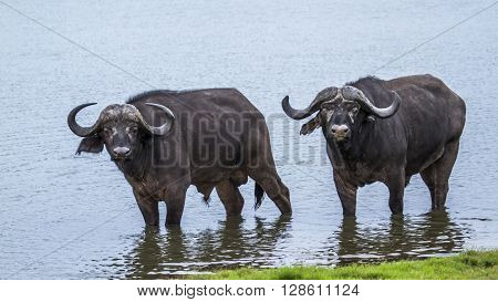 Specie Syncerus caffer family of bovidae, two african buffalos in the river in Kruger park, South Africa