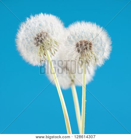 dandelion flower on blue color background, many closeup object