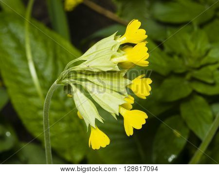 Primrose cowslip Primula veris flowers on bokeh background macro selective focus shallow DOF