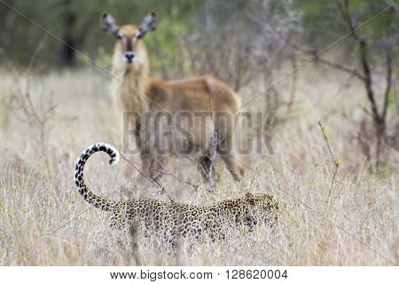Specie Panthera pardus family of felidae, leopard and waterbuck in savannah, Kruger Park, South Africa