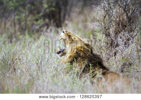 Specie Panthera leo family of felidae, male lion yawning in the bush, Kruger park