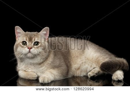 Adorable British Cat with green eyes Lying and Looking in Camera isolated on Black Background