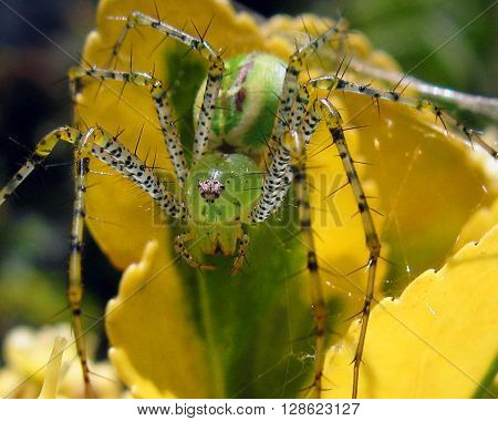 Green spider macro with fangs and spikey legs.