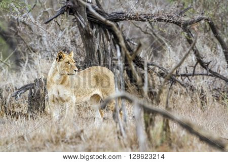 Specie Panthera leo family of felidae, lioness in Kruger park