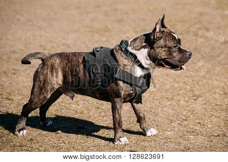 Dog American Staffordshire Terrier Posing On Obedience Posing Outdoor
