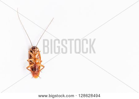Close up Cockroach on white paper background
