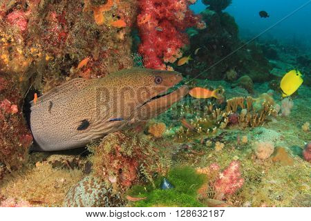 Giant Moray Eel in coral reef with fish