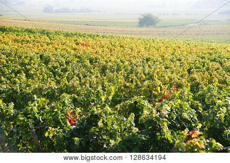 Vineyard in Burgundy near Beaune France Europe