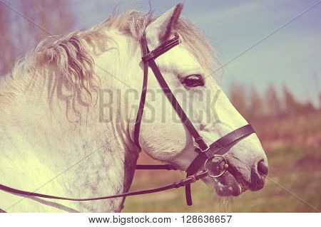 Portrait of white bridled Persheron horse. Creamy toned photography
