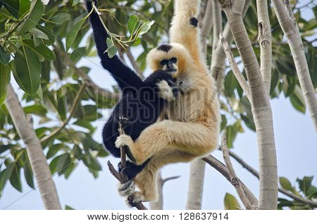 the mother white faced gibbon is breast feeding her son