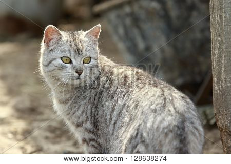 Gray striped cat turns back close-up portrait