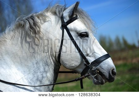 Portrait of white bridled Persheron horse in profile.