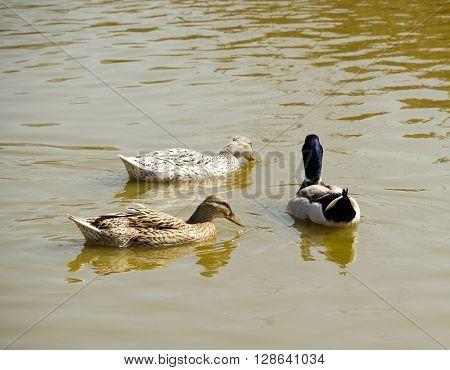 Three wild ducks swimming in the pond.