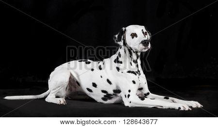 Dalmatian Black Background