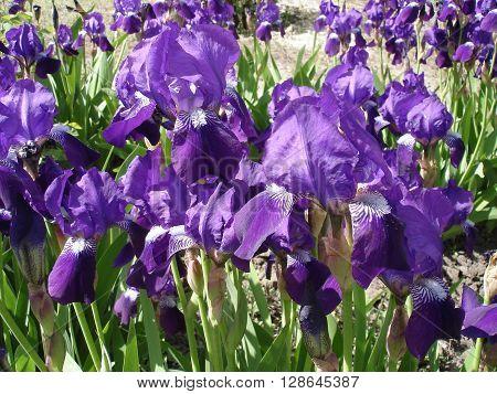 Iris germanica violet spring flowers 'Amethyst Flame'.