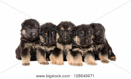 Group of German Shepherd puppies isolated on white background