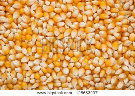 Closeup of lots of raw corn kernels