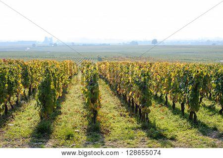 Nice view on vineyard in foggy morning Beaune Burgundy France