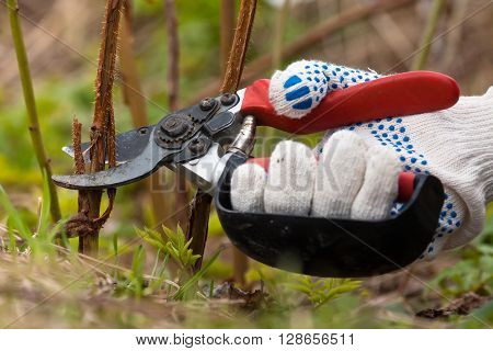 hand in gloves pruning raspberry with secateurs in the garden
