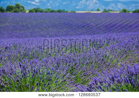 Lavanda fields of the French Provence near Valensole