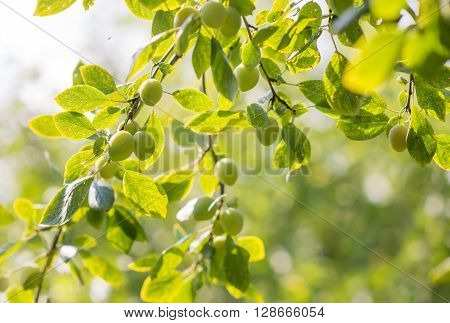 fresh ripe green plums growing in the tree