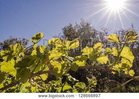 Sun Flare looking down on back lit grape vines in the Mediterranean Countryside