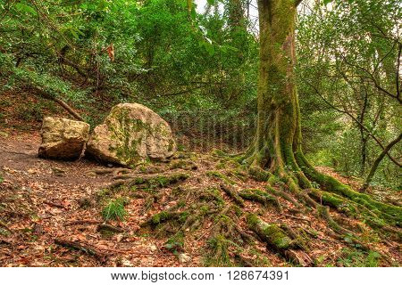 Roots and trunk of tree and boulder covered with moss in mountain forest HDR processing