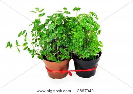 mint and parsley in a pot on a white background