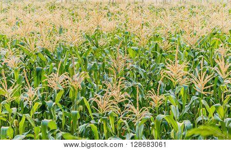 Green Corn farm , The vast cornfield