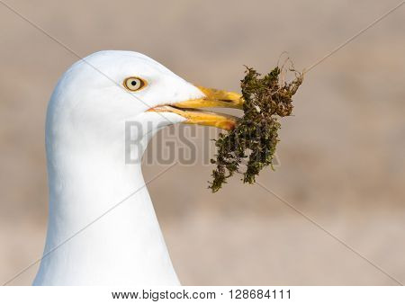 Seagull gathering moss for a nest.