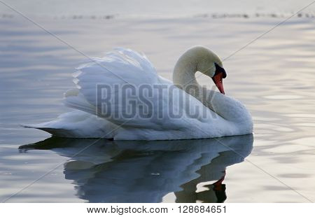 Beautiful isolated image with the mute swan in the lake