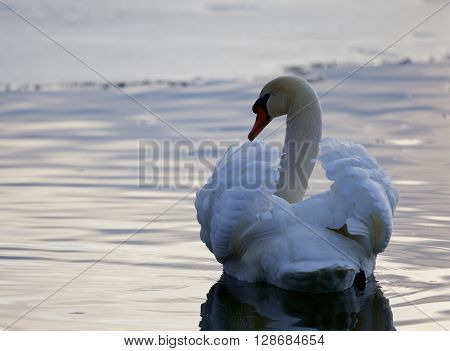 Beautiful picture with the mute swan in the lake