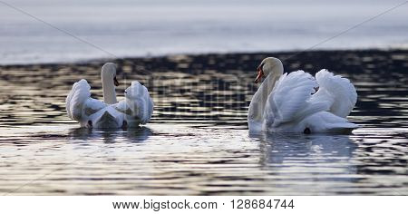 Beautiful isolated image with two mute swans in the lake on sunset