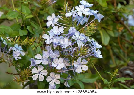 Closeup of  Plumbago auriculata flowers in light blue purple shade in the garden in Australia